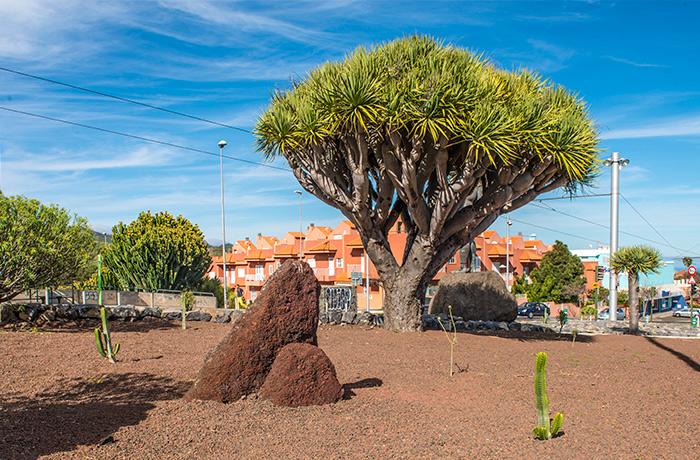Drago y cactus de la rotonda del Museo del Cosmos y la Ciencia en la Avenida de los Menceyes en San Cristobal de La Laguna