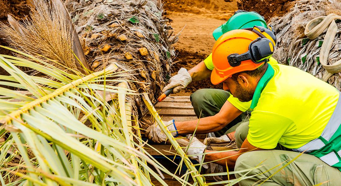Trabajadores de interjardin cortando hojas secas de una palmera phoenix dactilifera antes de trasplantarla