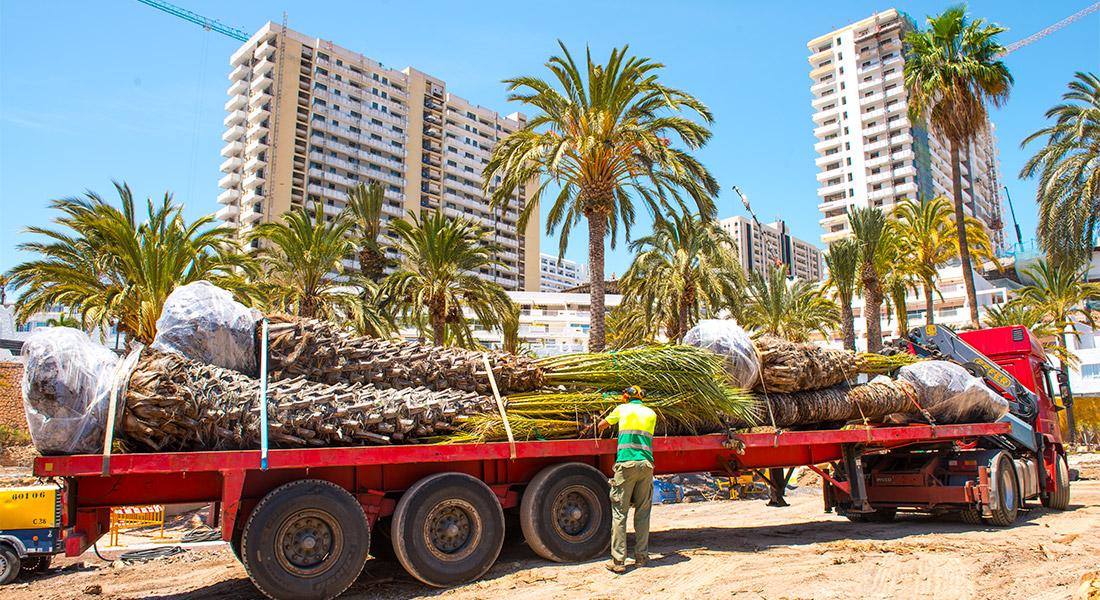 Trasplante de grandes ejemplares de palmeras de hasta 18 metros de altura para el hotel Hard Rock de Tenerife en Playa Paraiso. Adeje