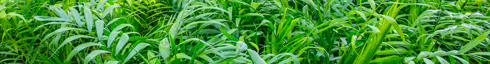 Detalle de plantas Chamaedoerea Elegans
