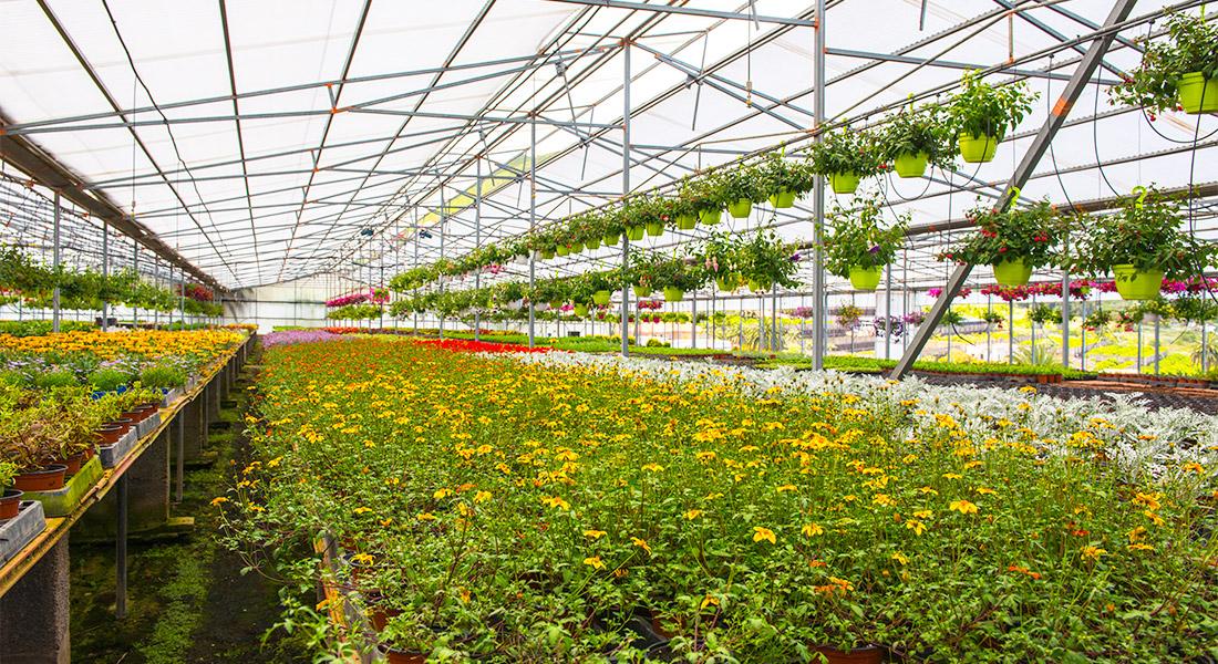 Vista de las flores y plantas de uno de los invernaderos de Lycaste en Valle Guerra (San Cristobal de La Laguna)