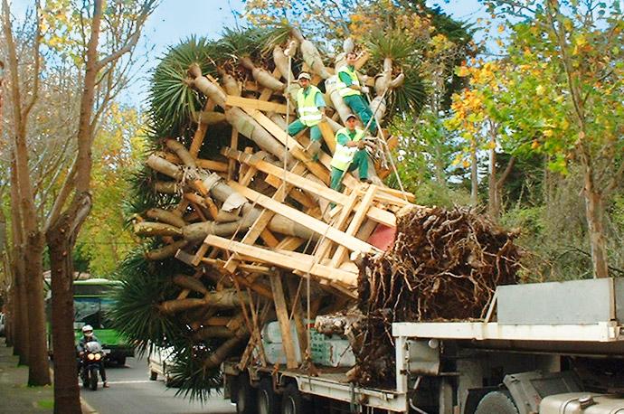 Trabajadores de interjardin, subidos a un gran ejemplar de drago entablillado en el traslado en camion hacia su trasplante al Parque de La Vega en San Cristobal de La Laguna