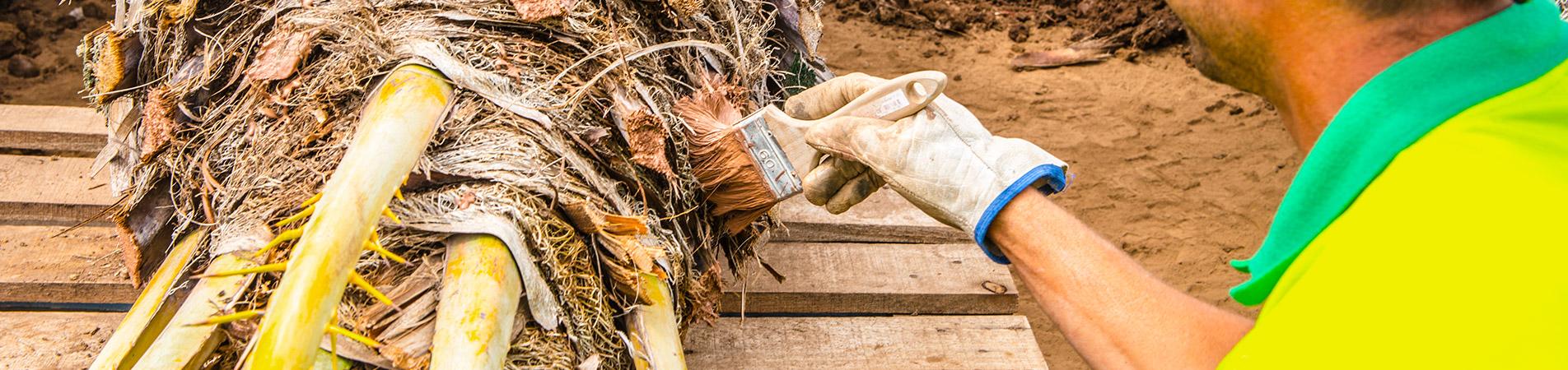Trabajador de interjardin aplicando cicatrizante de poda a una palmera dactilifera
