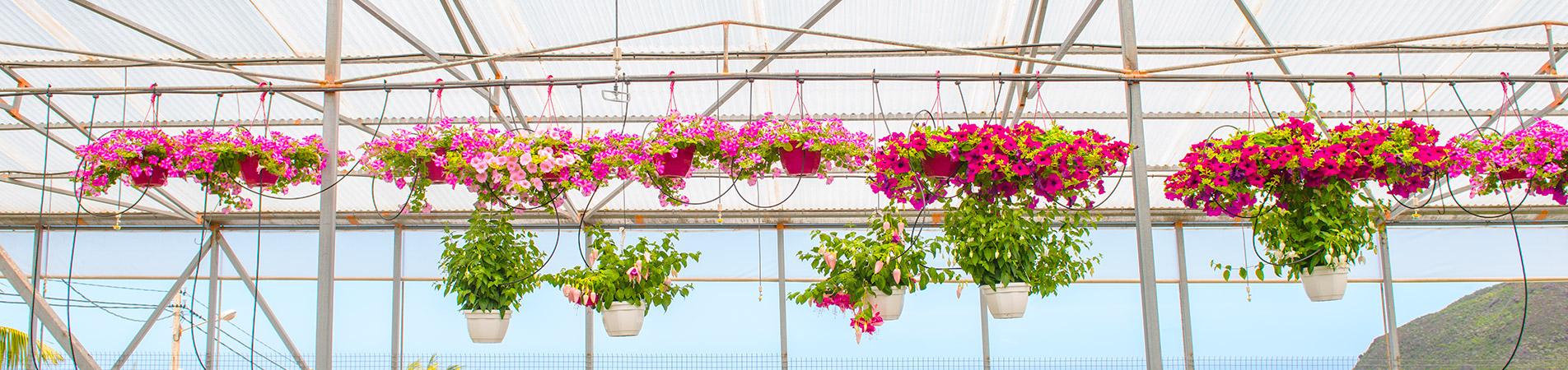 Riego por goteo de flores y plantas en vivero de Valle Guerra (San Cristobal de La Laguna)