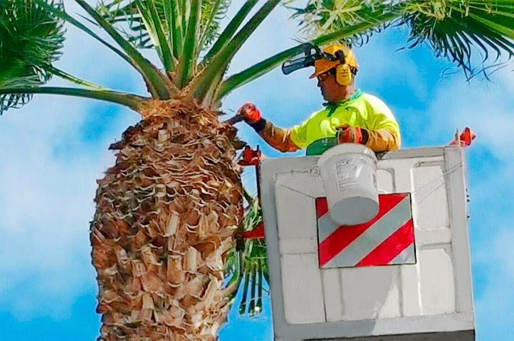 Trabajador de interjardin aplicando cicatrizante de poda a una palmera dactilifera en la Avenida maritima de Santa Cruz de Tenerife