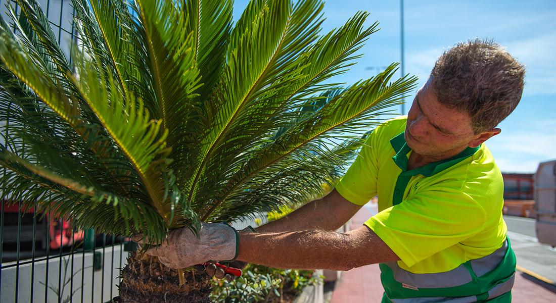 Trabajador de inter jardin podando una cyca revoluta en el Puerto de Santa Cruz de Tenerife