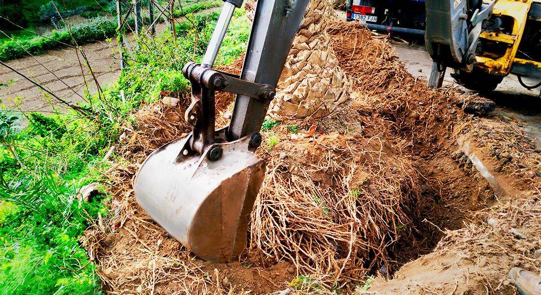 Excavadora quita la tierra alrededor de las raices de un gran ejemplar de palmera dactilifera para empezar su trasplante