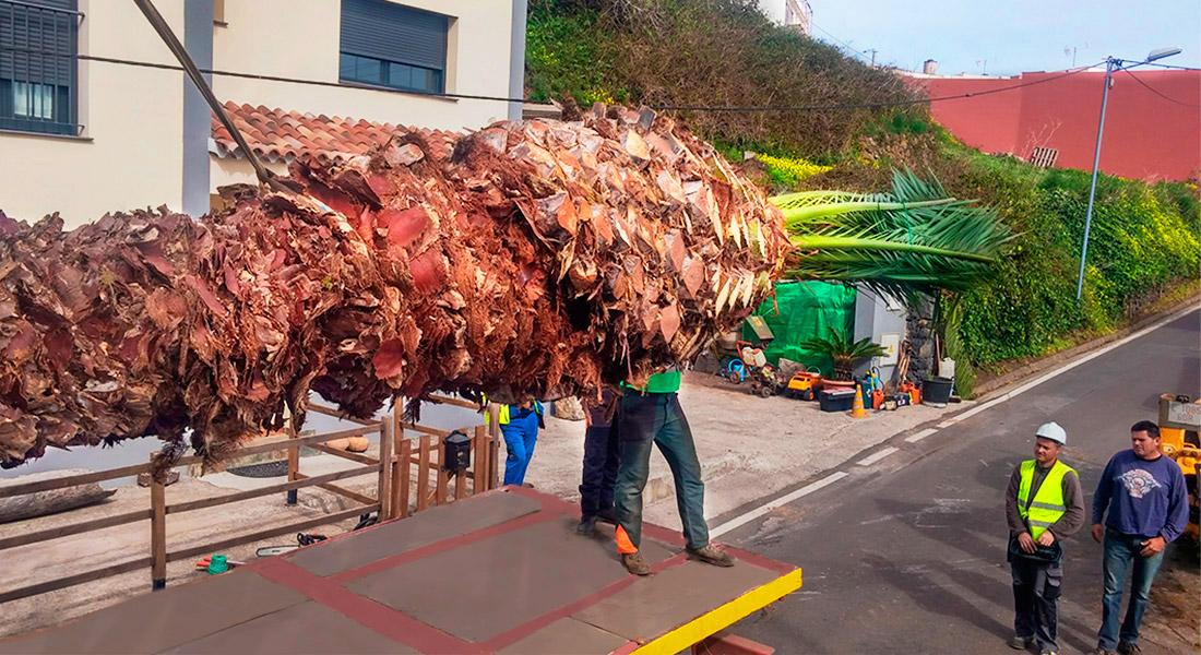 Trabajadores de interjardín dirigen la colocacion de un gran ejemplar de palmera dactilifera sobre un camion grua