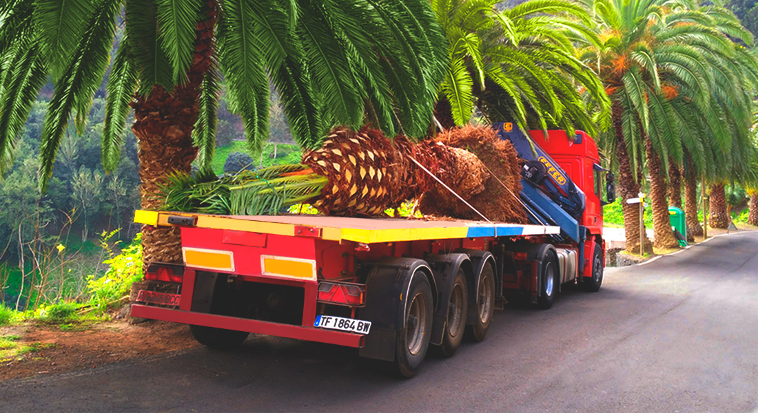 Gran ejemplar de palmera dactilifera amarrada sobre un camion grua, preparada para su trasplante