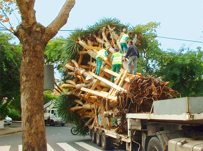 Trabajadores de interjardin, subidos a un gran ejemplar de drago entablillado, sortean un cable de electricidad en el traslado en camion hacia el Parque de La Vega