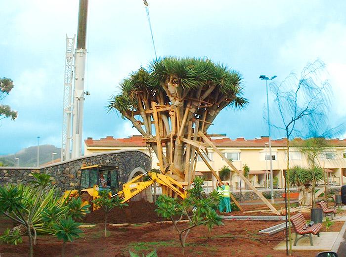 Proceso del trasplante del gran ejemplar de drago en el parque de La Vega de San Cristobal de La Laguna
