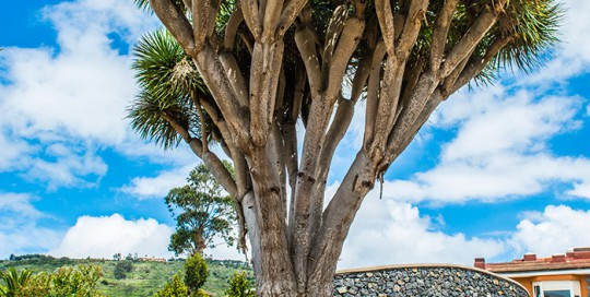 Gran ejemplar de drago trasplantado por interjardin al parque de La Vega de San Cristobal de La Laguna