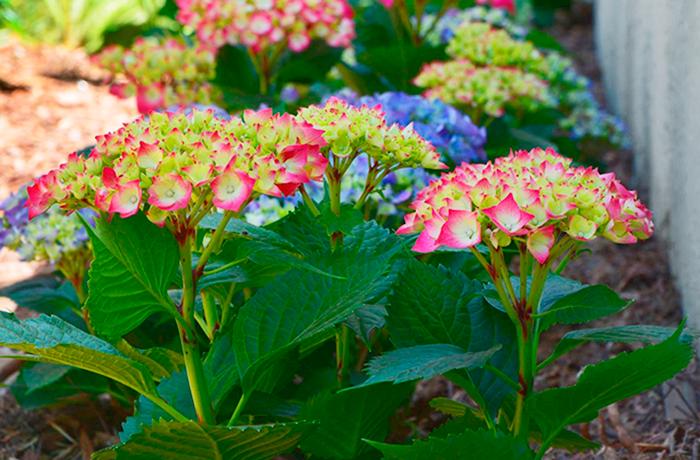 Flores plantadas por interjardin en un jardin de La Orotava