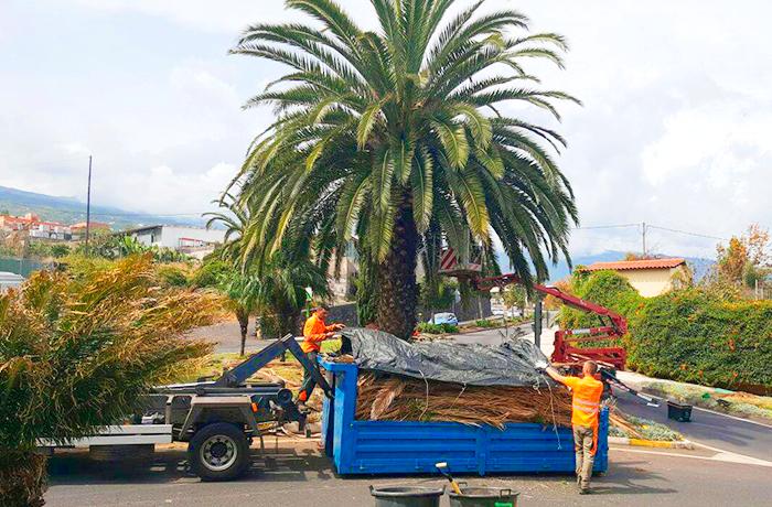 Trabajadores de interjardin podando una palmera en el municipio de La Orotava