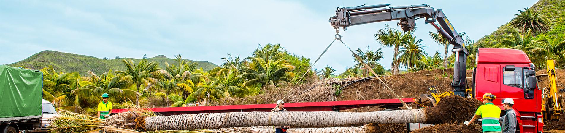 Tecnicos agricolas dirigiendo el proceso de trasplante con grua de un gran ejemplar de palmera dactilifera en un vivero de Valle Guerra